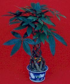 indoor trees | Pachira Macrocarpa-Indoor Plants】-Ebcu.com ...