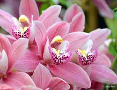 Photograph Pink Orchids by Grace Ray on 500px