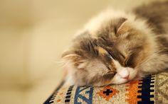 Fluffy Cat Sleeping hd wallpaper by JennyMari Kittens Cutest, Cats And Kittens, Kitty Cats, Cat Run, Latest Wallpapers, Cat Wallpaper, Cat Party, Cat Sleeping, Fluffy Cat