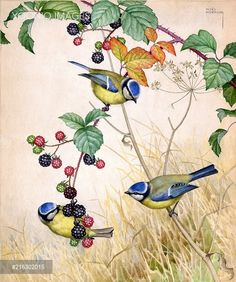 PortForLio - Three blue tits on blackberry Vogel Illustration, Botanical Illustration, Watercolor Bird, Watercolor Paintings, Color Pencil Sketch, Bird Pictures, Vintage Birds, Little Birds, Wildlife Art