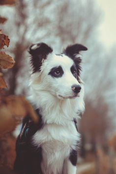 Animal, chien, noir et blanc, forêt