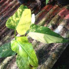 Philodendrum domesticum