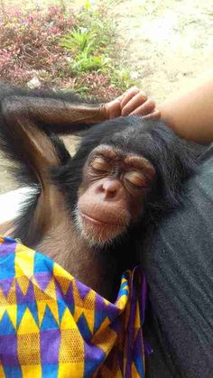 Baby Chimp Can't Stop Snuggling With Rescuers Now That He's Safe - The Dodo Cute Baby Monkey, Pet Monkey, Cute Baby Animals, Animals And Pets, Monkey Girl, Beautiful Cats, Animals Beautiful, Baby Chimpanzee, Monkey Pictures