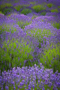 Lavender Study Photograph by Inge Johnsson