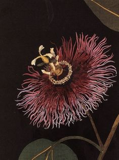 """benita-loca:  """"Mary Delany  """"Passiflora Laurifolia"""" (detail)-1777  Collage of colored papes with watercolor  """""""