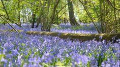 Surrey Bluebells
