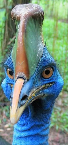 Cassowary: Looks prehistoric! One of the largest and most striking birds in the world--the Cassowary (Indo-Pacifc). This remarkable species can grow to 6 feet, weigh 120 lbs., and can easily kill a human. (Cornell Lab of Ornithology) Pretty Birds, Beautiful Birds, Animals Beautiful, Animals Amazing, Animals And Pets, Funny Animals, Cute Animals, Pretty Animals, Funny Birds