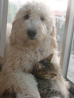 This Goldendoodle looks like mine! (Sam) So cute with the kitty!  : D