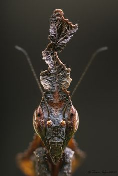 Ghost Mantis, Face-to-Face Beetle Insect, Insect Art, Cool Insects, Bugs And Insects, Beautiful Creatures, Animals Beautiful, Foto Macro, Cool Bugs, Interesting Animals