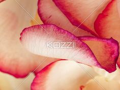 bi-color peachy pink rose petals - Alluring Bi-color Peachy Pink Rose Petals shot close-up to add elegance to your day throughout the year!