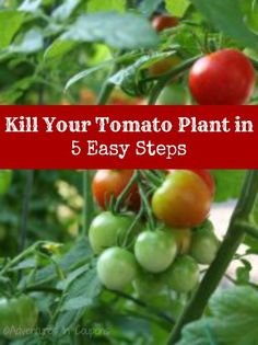 How to Kill Your Tomato Plants in 5 Easy Steps! Learn how to grow lush tomatoes...or how to kill your plants easily.