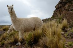"""More news of alpacas protecting baby lambs! """"They are so good at guarding lambs because they are ever-watchful and very aware of what's going on. As soon as they sense or hear any distress they run towards the noise which frightens predators away."""""""