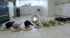 O Maravilhoso Momento Em Que 10 Labradores Bebés Comem Ração Pela Primeira Vez