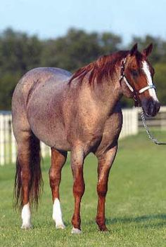 Quarter Horse Strawberry Roan.  I want one of these and a grullo when I grow up then ill be happy.