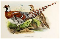 002-Elliot's Pheasant-The birds of Asia vol. VII-Gould, J.-Science .Naturalis