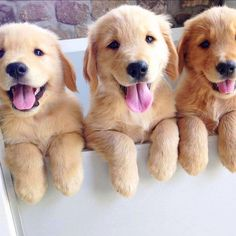14 signs you are a crazy golden retriever person funny animals cute animals, Golden Retriever Mix, Retriever Puppy, Golden Retrievers, Cute Baby Animals, Funny Animals, Funny Dogs, Animals Dog, Fun Funny, Cute Puppies