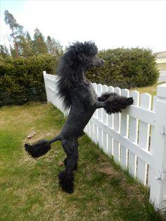 Doggarnas blogg - Kuro <3 Dog Grooming, Garden Sculpture, Standard Poodles, Dog Things, Creative, Outdoor Decor, Dogs, Animals, Miniature