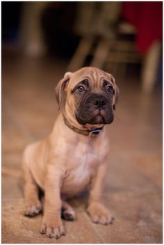 Bullmastiff Puppy! I will own another one SOON