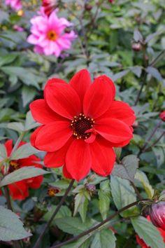 "flowersgardenlove: ""Dahlia 'Bishop of Ll Beautiful gorgeous pretty flowers """