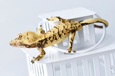High-End Crested Geckos For Sale Crested Gecko, Animals, Animales, Animaux, Animal, Animais