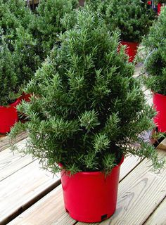 Every Year I Get One Of These Little Rosemary Plant Christmas Trees