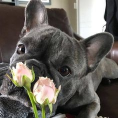 Blue French Bulldog ❤️