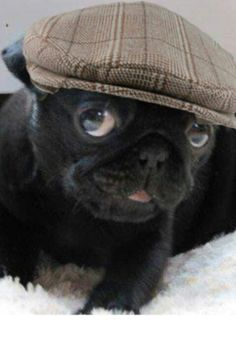 Pug in a newsies hat     for Rebecca and James