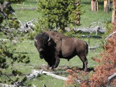 Wildlife Nature, Nature Animals, Animals And Pets, American Bison, Native American Art, Yellowstone National Park, National Parks, Buffalo Pictures, Buffalo Painting