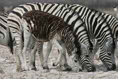a zebra with melanisum(sp? Not only albino but he has 2 heads. Animals Of The World, Animals And Pets, Beautiful Horses, Animals Beautiful, Melanistic Animals, Animal Action, Unusual Animals, Exotic Animals, Animal Species