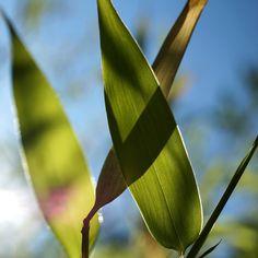 Bambus im Sonnelicht - quadratisch