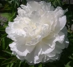 ~Paeonia lactiflora 'Moon River' (One of our owns)