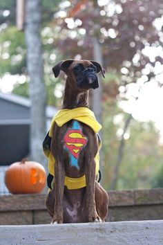 Cute and funny Boxer dogs are the real Internet Stars! Check out the top Boxer Dog Halloween costumes to inspire from! Boxer And Baby, Boxer Love, I Love Dogs, Cute Dogs, Animals Beautiful, Cute Animals, Animals Dog, Funny Animals, Der Boxer