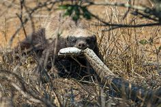 Honey badger (Mellivora capensis) with python (Python natalensis) at Kruger National Park near the Mozambican border. ©Susan McConnell