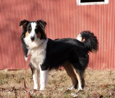 Old Time Scotch Collie - Daisy