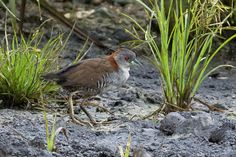 Laterallus exilis (Grey-breasted Crake) Амазонский погоныш