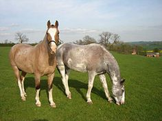 Couple of spiffy looking Criollo Horses