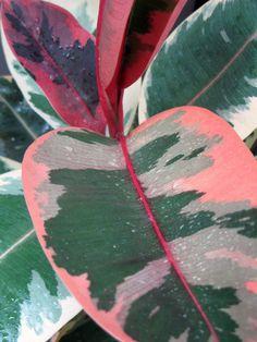 Ficus elastica 'Belize'. Boca Cay: 2007 Exotics and Tropicals: Cannas, Bananas and Taros, etc Ficus Elastica, Indoor Garden, Garden Plants, Indoor Plants, House Plants, Nature Plants, Plantas Indoor, Cactus Plante, Plants Are Friends