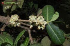 Garcinia livingstonei / imbe