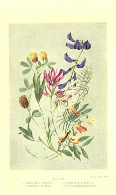 Sub-alpine plants : or, Flowers of the Swiss wo...