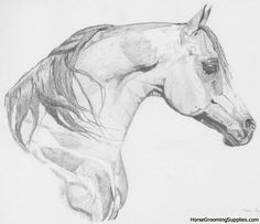 printable drawings   Arabian Horse Drawing