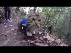 Hiking Day for Kitten Rosie and her Husky Pack! - YouTube