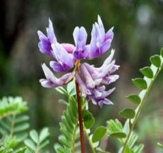 Check out the deal on Astragalus memb.    100 seeds at Hazzard's Seeds