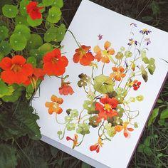 Nasturtium watercolor by Gala Kamenskaya found on Instagram Gala_Flora