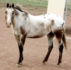 Varnish roans, like all horses with the Lp gene, have mottled skin, striped hooves, and white sclera. They are hererozygous Lplp