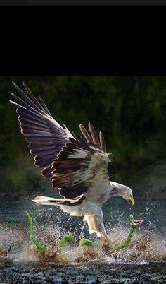 OK nature photographers, this is truly a once in a lifetime shot! Eagle attacking a Snake. of Prey The Eagles, Wildlife Photography, Animal Photography, Amazing Photography, Travel Photography, Beautiful Birds, Animals Beautiful, Rapace Diurne, Animal Pictures