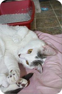 Freeport, NY - Bobbi And The Strays, NO KILL, Turkish Van. Meet Lucy, a cat for adoption. http://www.adoptapet.com/pet/10126418-freeport-new-york-cat