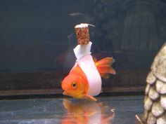 """When most goldfish begin to suffer ill health there's usuallyone likely outcome and a flush down the toilet to a watery grave.When Einstein began bobbing up and down in histank, this creative owner figured out a way to save him with this 'goldfish wheelchair', as some have called it. Using a cork and a piece of tape, the owner created the buoyancy needed to keep the fish upright.At first Einstein wasn't too impressed. """"He wriggled a bit a first and he wasn't too keen on the idea. He kept…"""