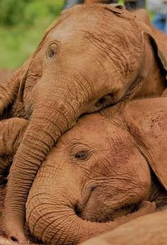 Find and save ideas about Wild animals video. See more ideas about the Wild video, Funny wild animals, and All animals videos. Elephant Pictures, Elephants Photos, Cute Animal Pictures, Elephants Never Forget, Save The Elephants, Baby Elephants, Baby Cows, Elephant Photography, Animal Photography
