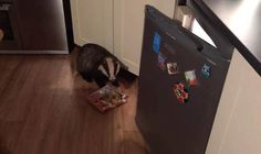 Cheeky badger uses cat flap to sneak into home and raid fridge