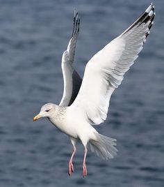 Utah: Common American Seagull